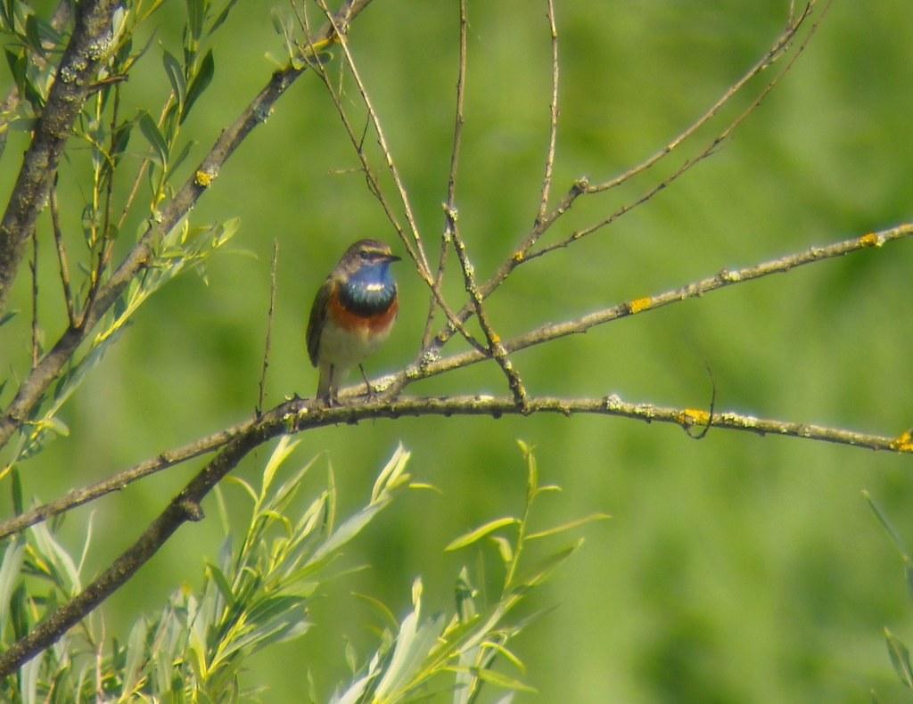Singvögel sind nicht von der Vogelgrippe bedroht