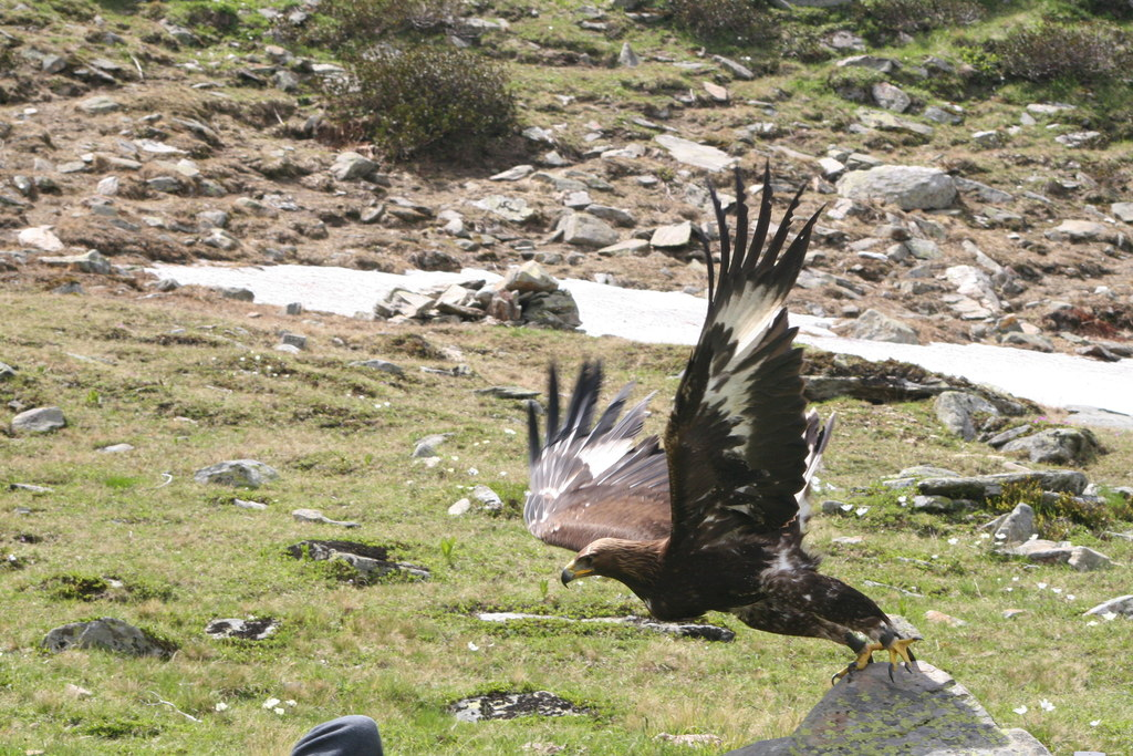 Steinadler im Nationalpark
