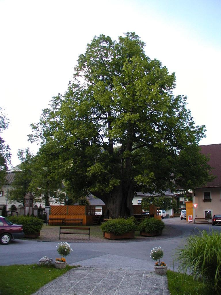 Dorflinde in Faistenau