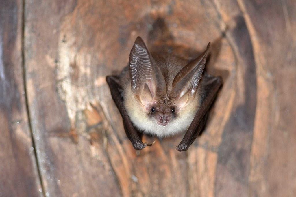 Fledermäuse sind wie hier die Langohrfledermaus wahre Genies beim Überwintern.