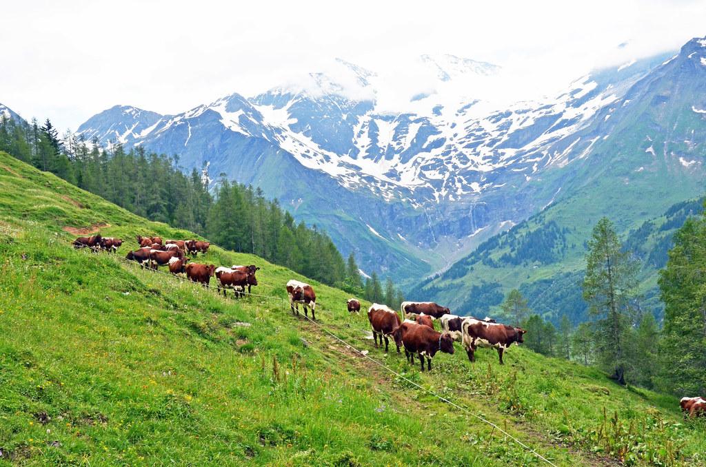 Österreichs Landwirtschaft ist seit vielen Jahren frei von klassischen Tierseuch..