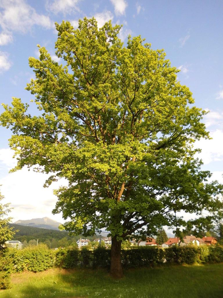 Eiche ist Baum des Jahres 2016