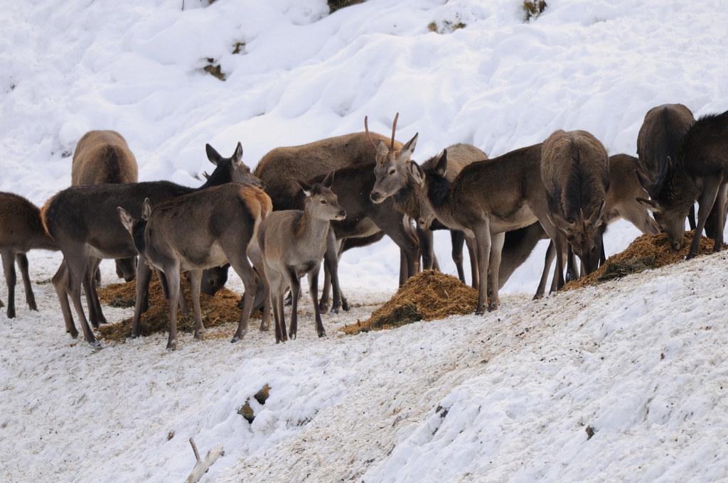 Das Wild wird im Winter gefüttert. Profis wissen wie, um die Balance zwischen Wa..