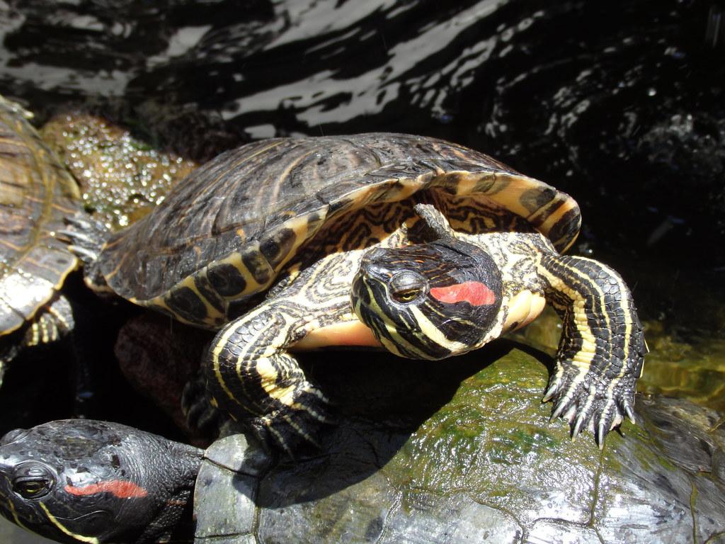 Die Rotwangen-Schmuckschildkröte gehört zu den invasiven Arten, die auch in Salz..