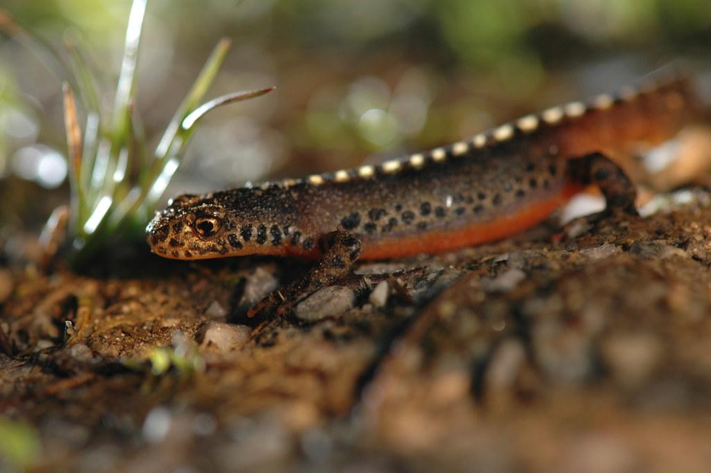 2016 wurden neun Amphibien- und drei Reptilienarten an den Schutzzäunen entlang ..