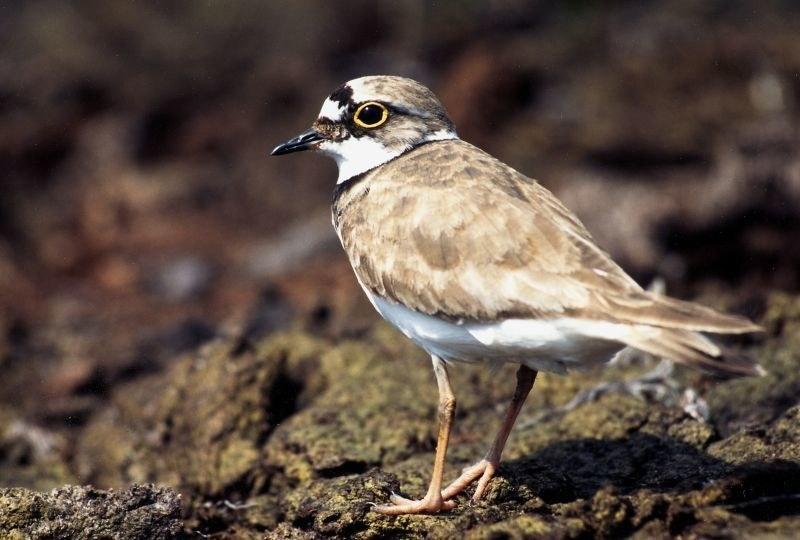 Im Frühjahr und Frühsommer ist die Brutsaison für zahlreiche seltene Vogelarten ..