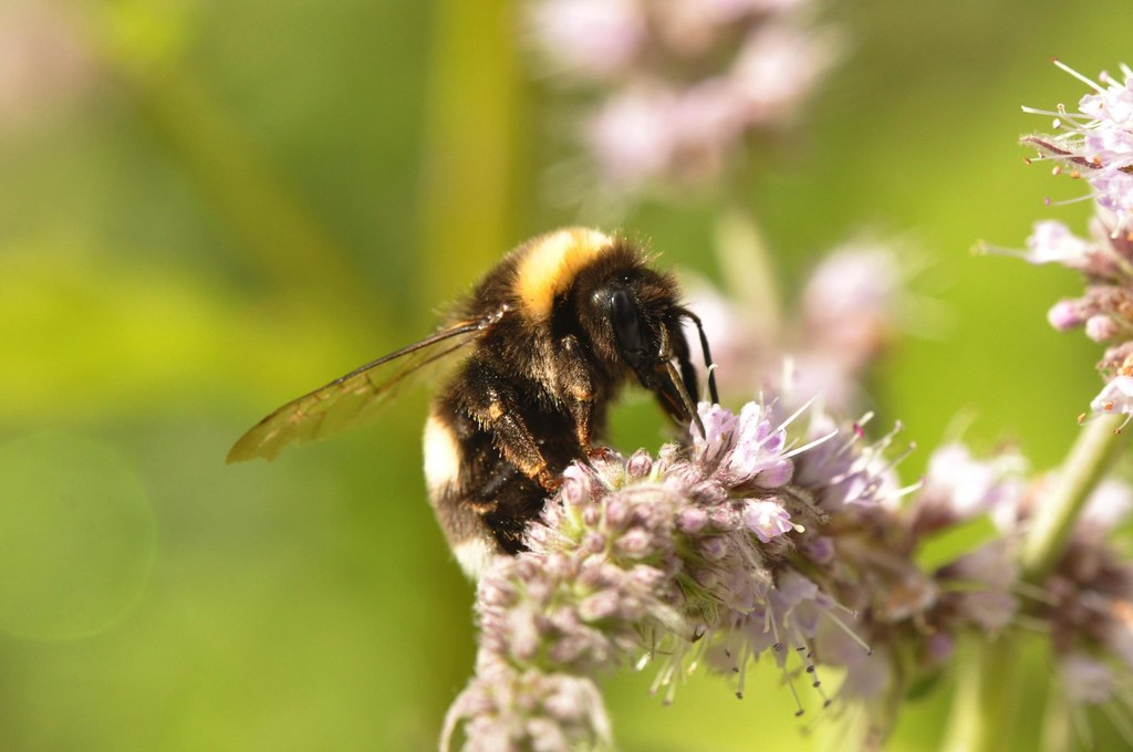 Die Erdhummel gehört zu den Wildbienenarten in Europa.