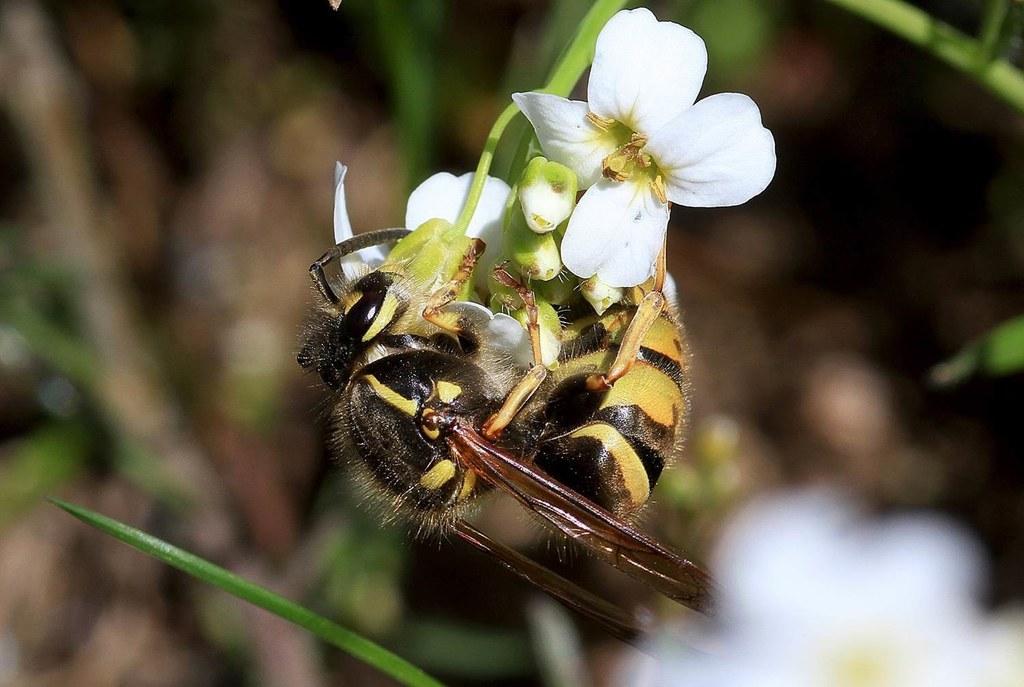 Wespen, Bienen und andere Stechinsekten leisten wertvolle Arbeit im Naturhaushal..