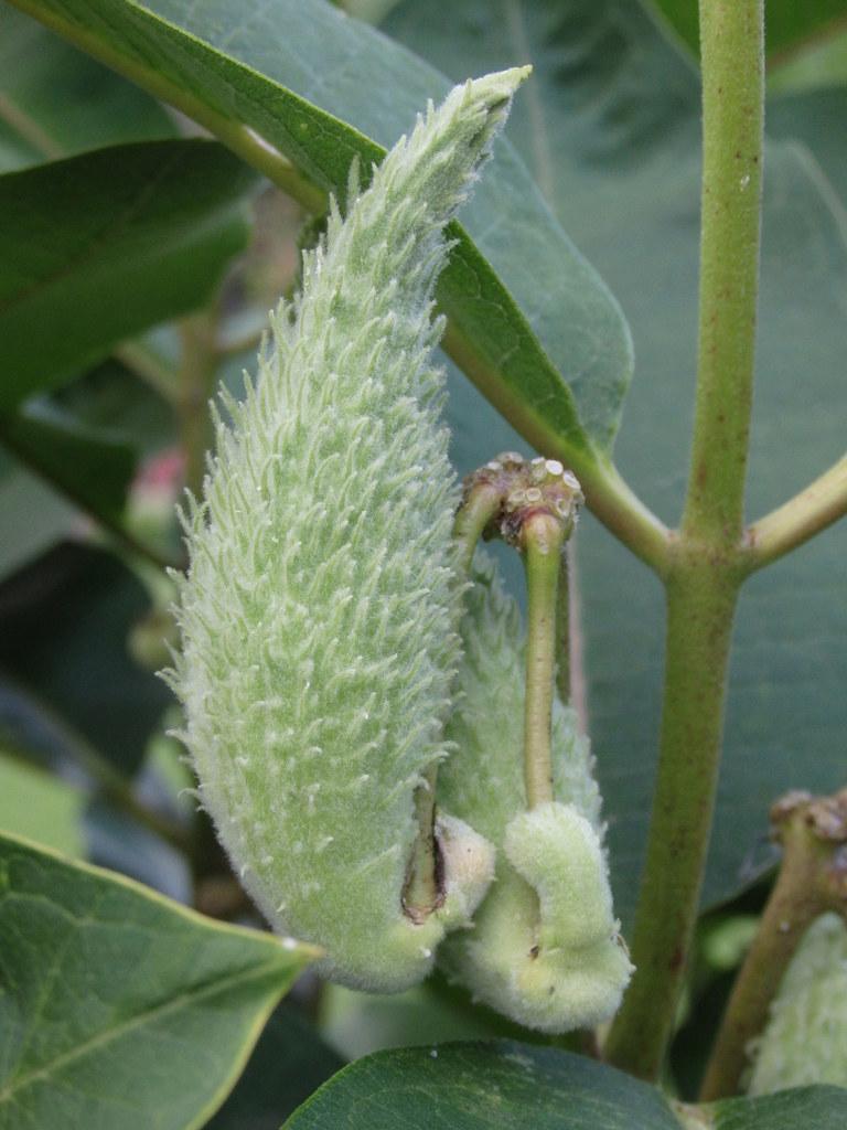 Die Fruchtkörper der Seidenpflanze, auch Papageienstrauch genannt.