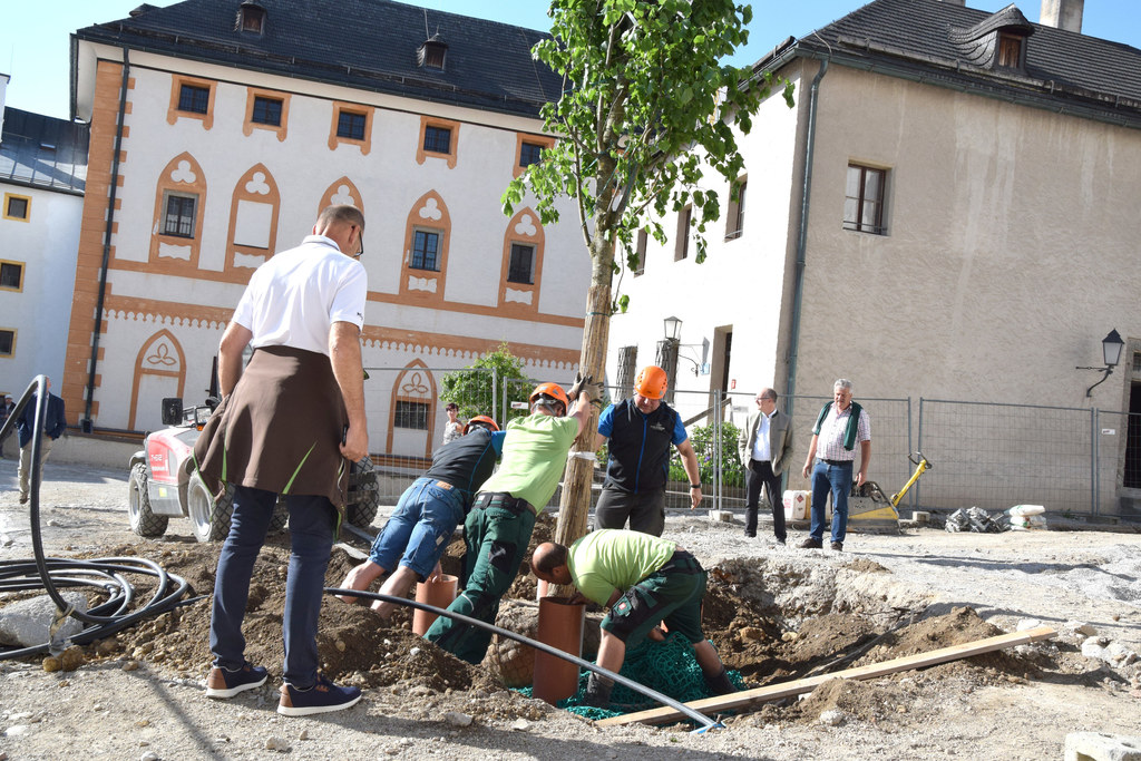 Mit äußerster Präzision wurden die beiden Linden im Burghof gepflanzt.