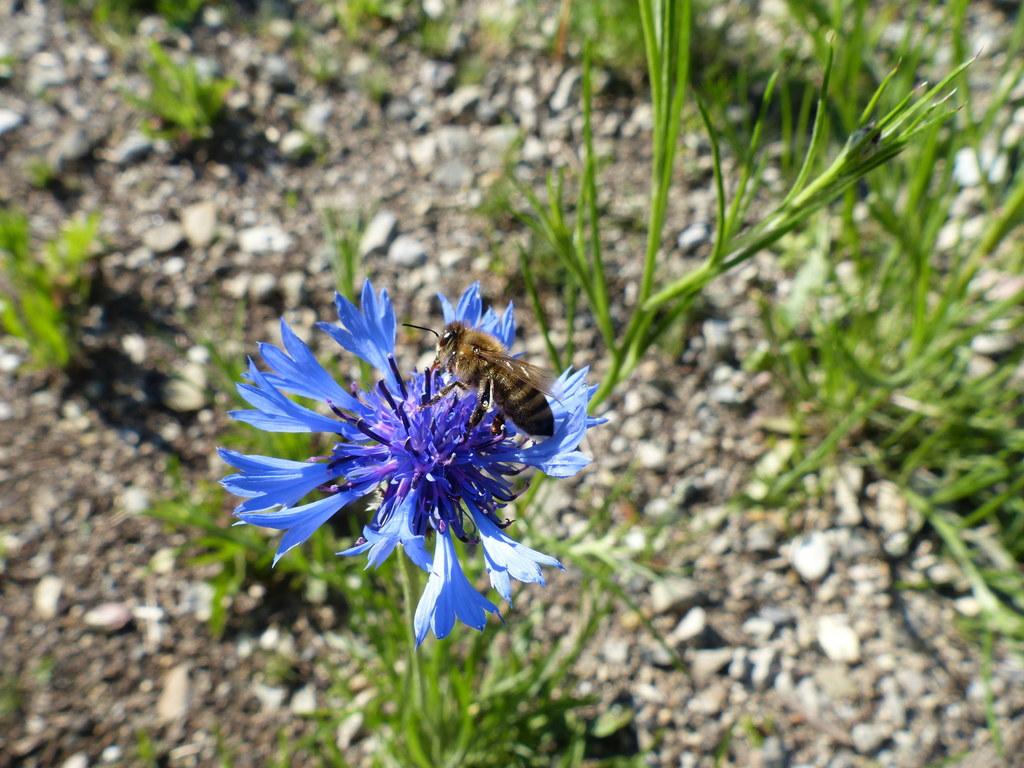 Kornblumen setzen bunte Farbtupfer und locken Insekten an.