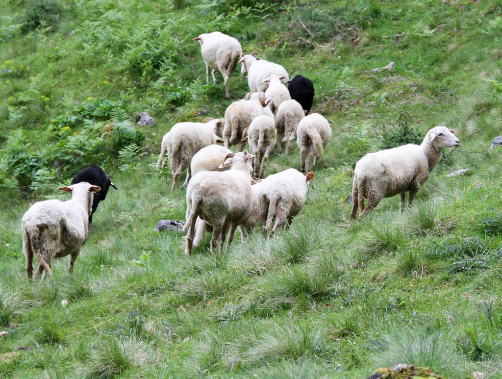 Wenn der Herdentrieb der Schafe gestört wird, zum Beispiel durch einen Wolfsangriff, hilft ein GPS-Sender dem Bauer, seine geflüchteten Schafe wiederzufinden.