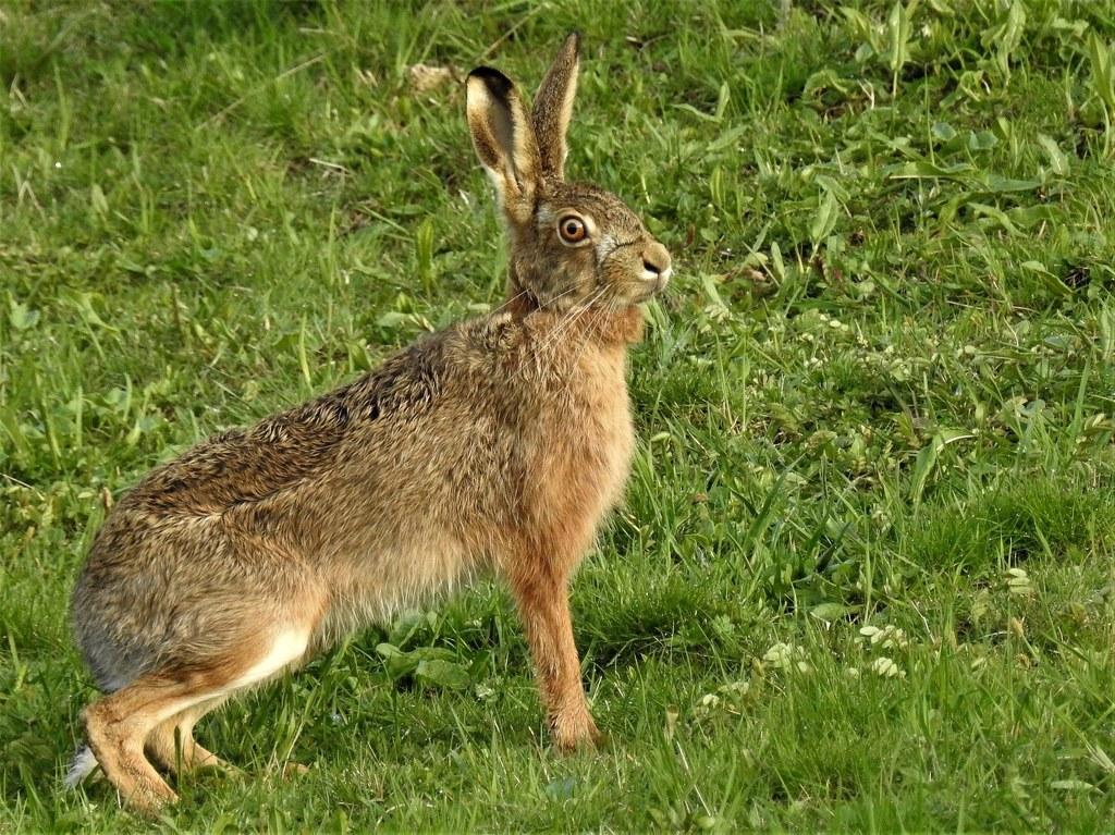 Bereits acht Hasen seit Mai mit Pest infiziert.