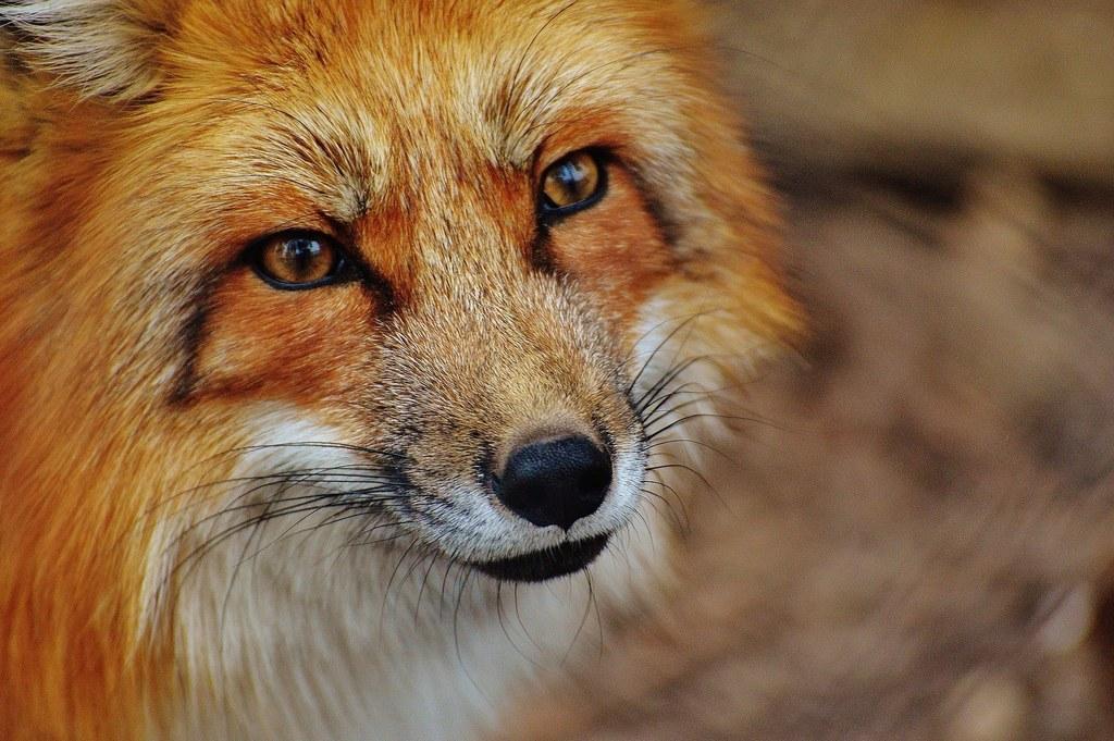 16 Prozent der untersuchten Füchse waren mit dem Fuchsbandwurm infiziert.