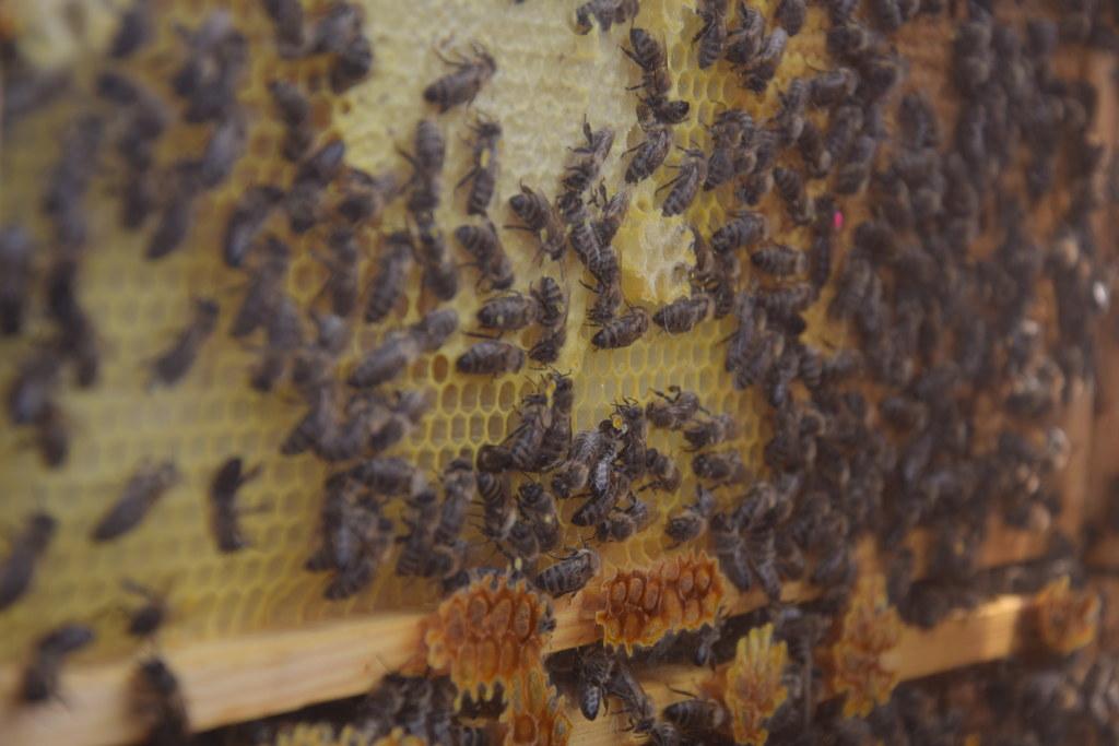 Im Umkreis von drei Kilometern zur Ausbruchsstelle wurden alle Bienenstöcke amtl..