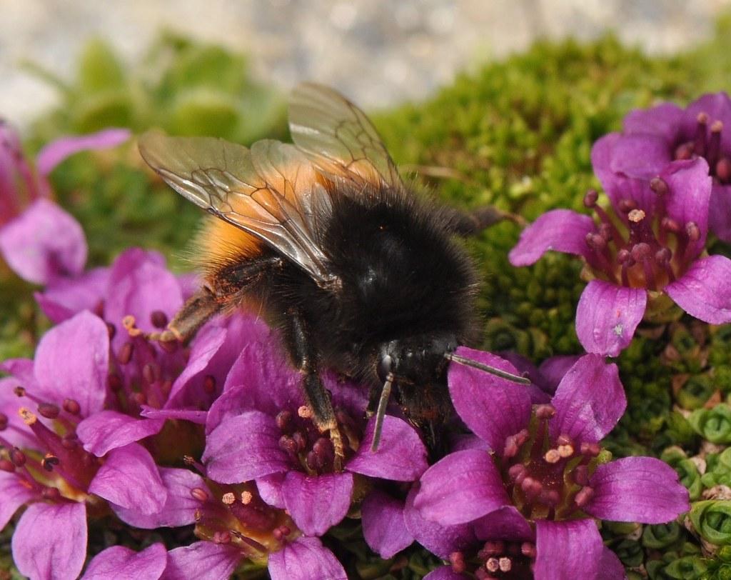 Auch die Alpenhummel zählt zu den besonders schützenswerten Wildbienenarten.