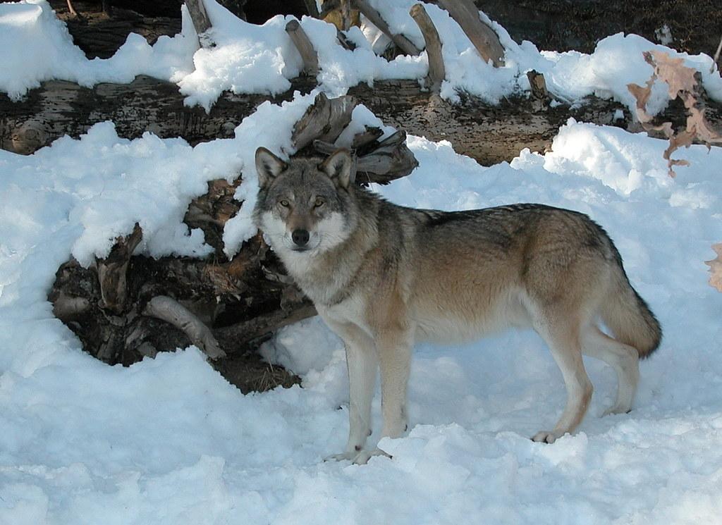 Der Wolf (hier ein Symbolbild) im Großarltal darf nicht entnommen werden, so entschied das Landesverwaltungsgericht. Er dürfte aber ohnehin schon über alle Berge sein.