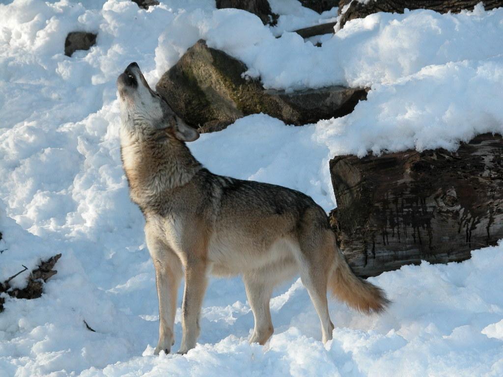 Experten sind sich einig: Die Wölfe werden auch bei uns immer wieder auftauchen...