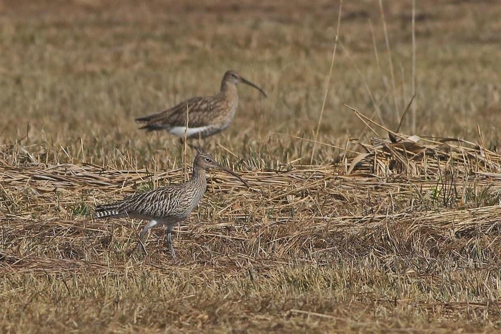 Wiesenbrüter wie der Große Brachvogel gehören zu den am stärksten gefährdeten Vo..