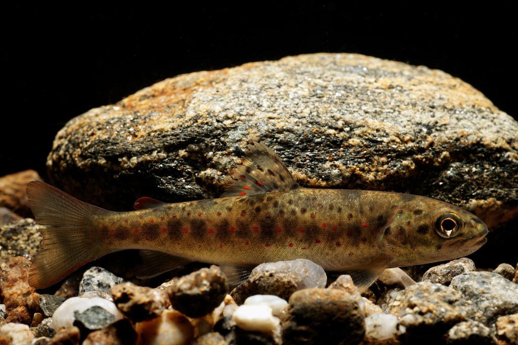 Fisch des Jahres: Die Bachforelle
