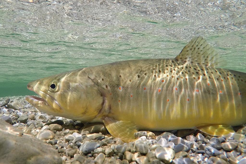 Die Bachforelle ist Fisch des Jahres 2020.