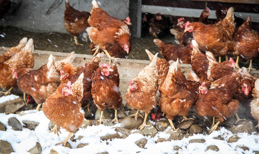Am Mittwoch endet die Stallpflicht für Geflügel.