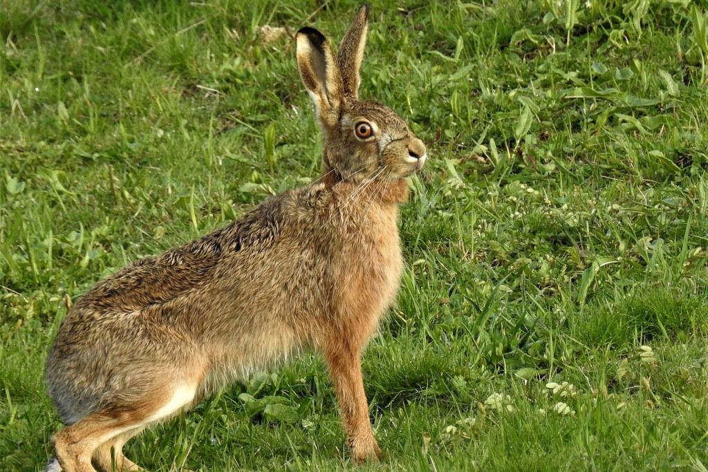 Die Hasenpest wurde nun erstmals auch im Pinzgau nachgewiesen. Zwei Feldhasen aus der Region Bruck an der Glocknerstraße sind betroffen. Die Krankheit ist auf den Menschen übertragbar.
