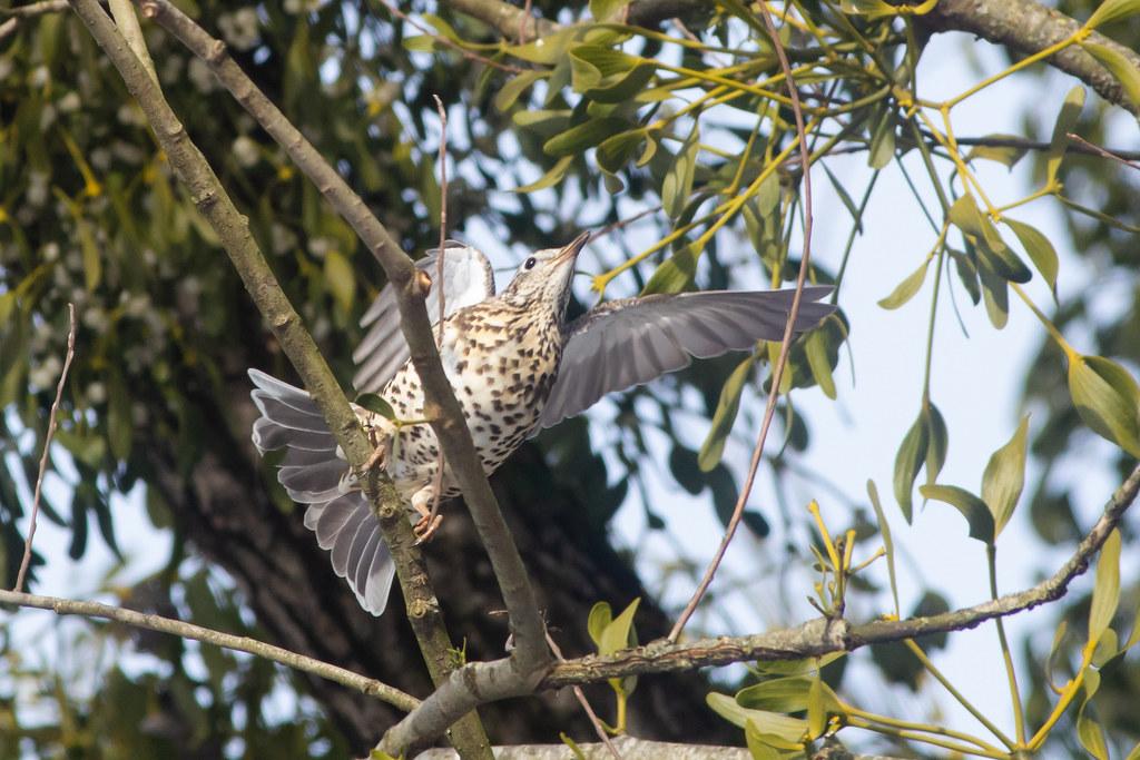 Vorsicht beim Heckenschnitt: Noch bis in den August können Brutvögel gestört werden.